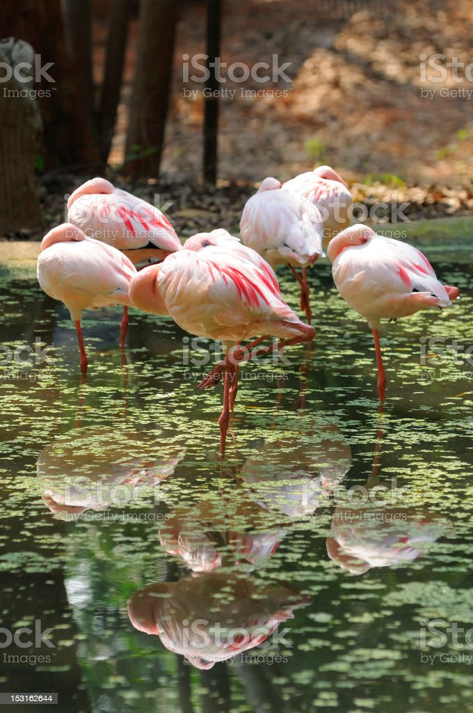 Flamingos royalty-free stock photo
