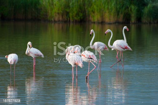 Flamengos in the National Park of Camargue in Provance, France
