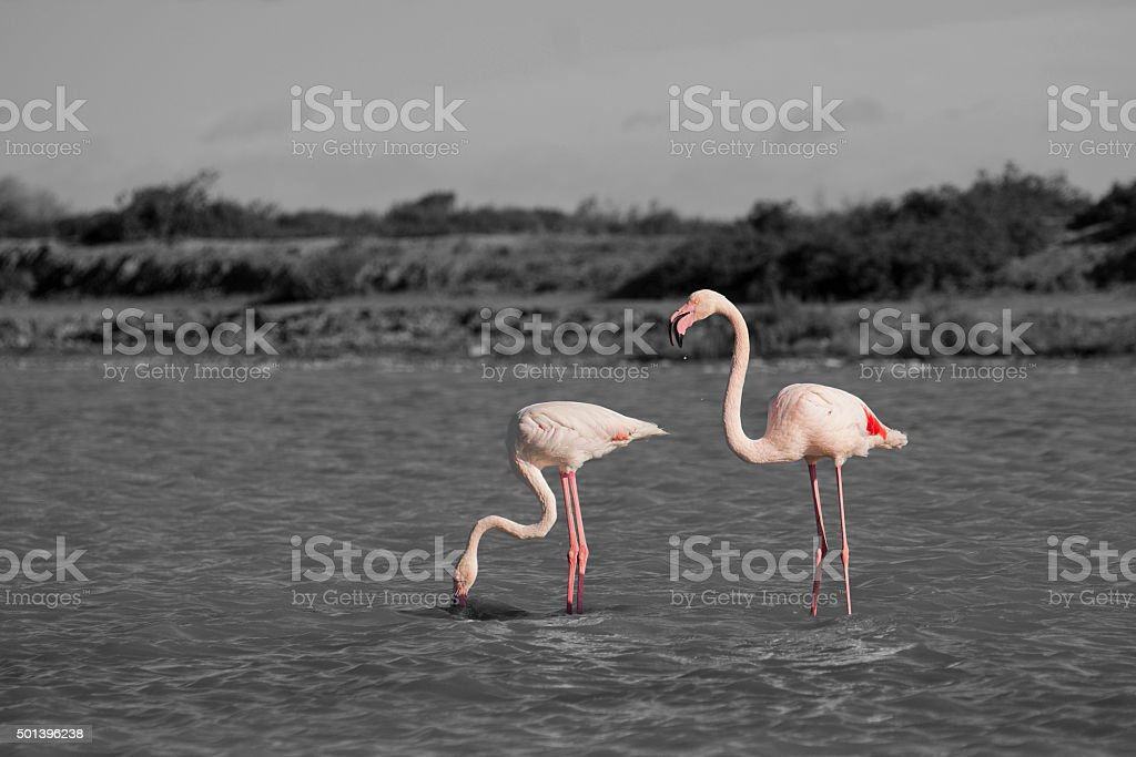 Flamants roses stock photo