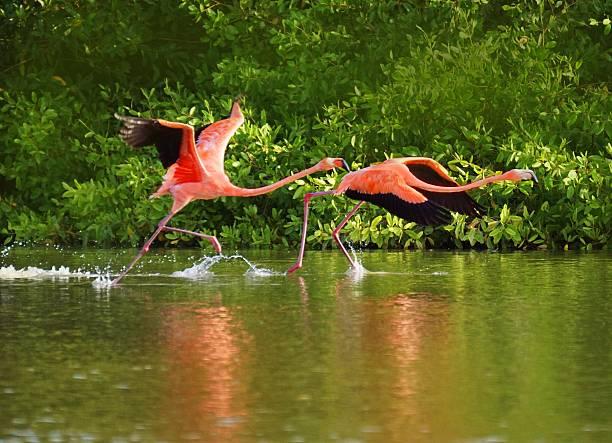 flamencos  - maracaibo fotografías e imágenes de stock