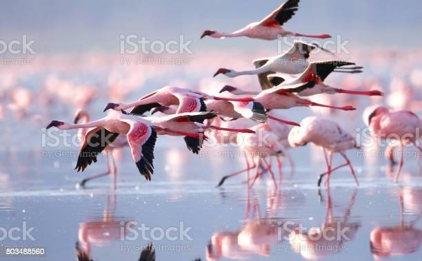 Flamingos picture id803488560?b=1&k=6&m=803488560&s=612x612&h=i2oml7h6k hutrgdbr6rmiyrkof0mvq0zt2iiyqio u=