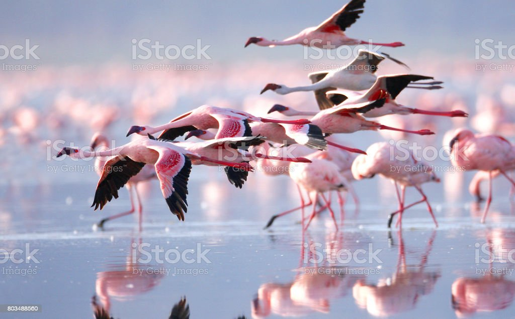 Flamants roses - Photo