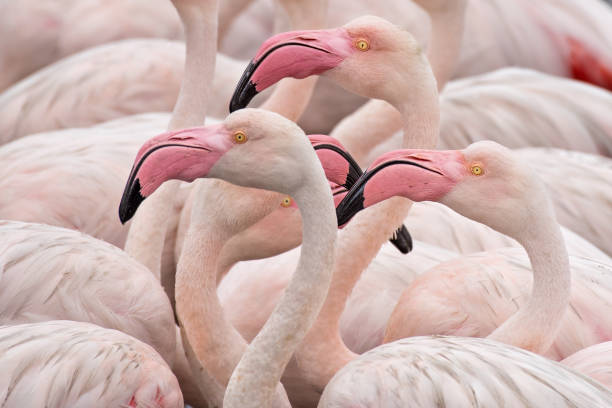 flamingos - natural pattern stock photos and pictures