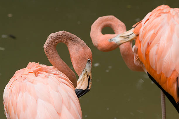 flamingos preening, getting ready for a date