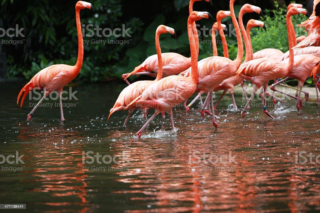 Flamingos walking royalty-free stock photo
