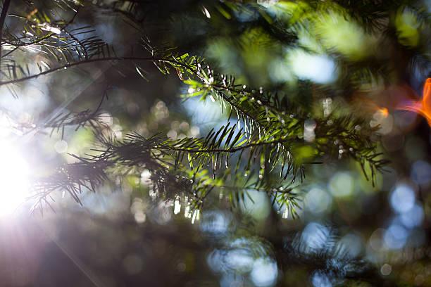 Jet sur evergreen - Photo