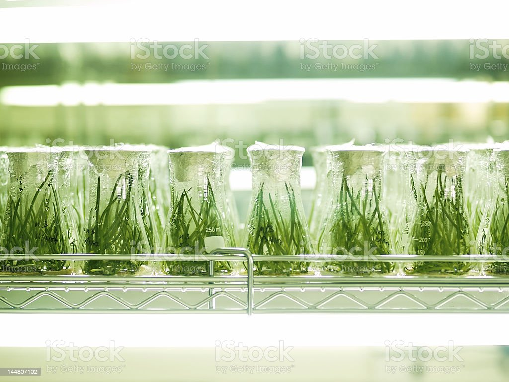 Flasks of engineered seedlings in laboratory stock photo