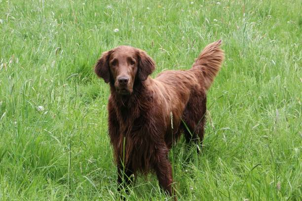 flat coated retriever portrait Brown flat coated retriever is standing in the garden retriever stock pictures, royalty-free photos & images