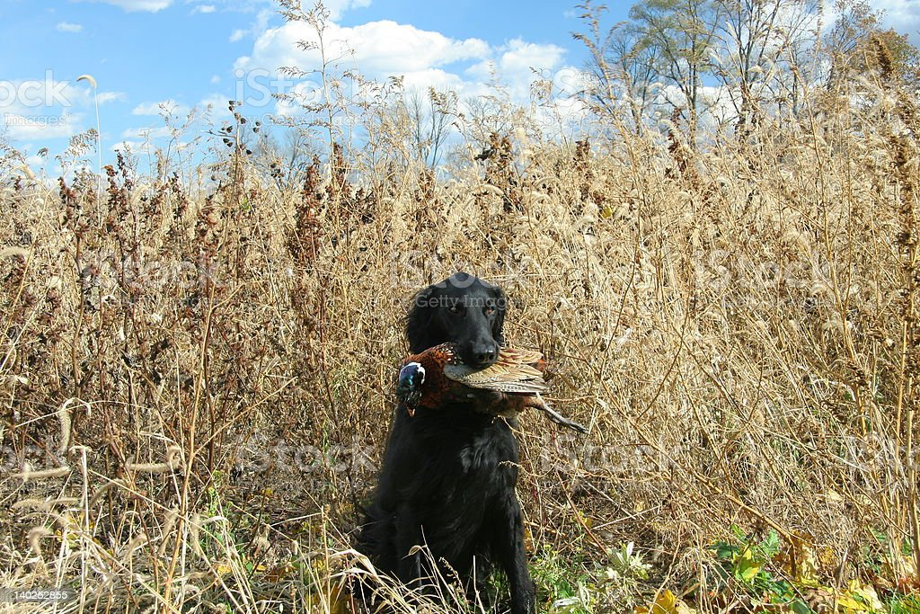 Flat coated retriever with pheasant stock photo