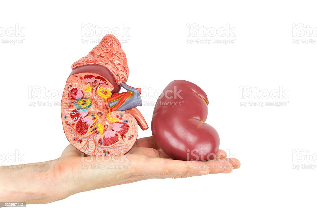 Flat hand showing model human kidney stock photo