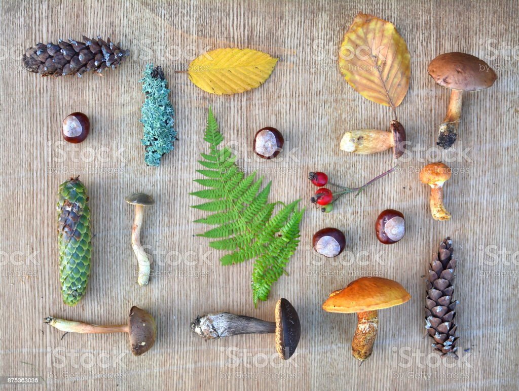 Flat lay composition of edible forest mushrooms, leaves and conkers stock photo
