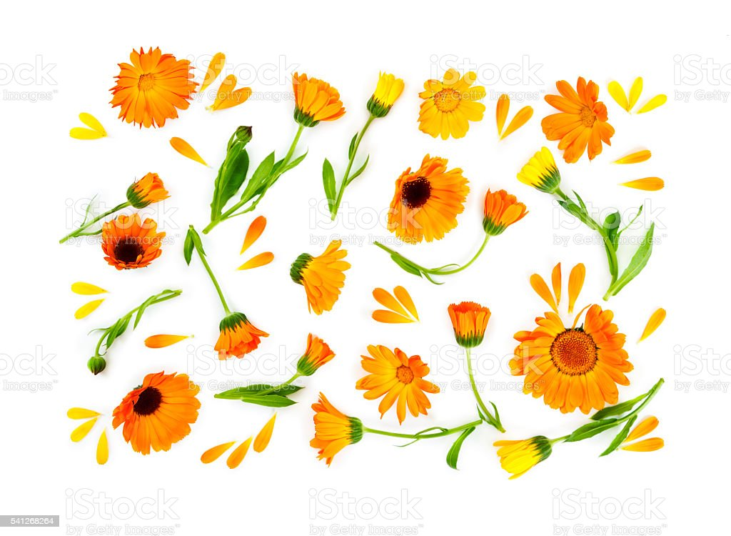 Flat lay composition with flowers calendula isolated on white ba stock photo