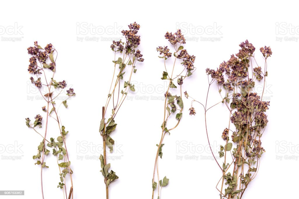 Flat lay dry branches of heather on a white background. Calluna vulgaris view from above stock photo