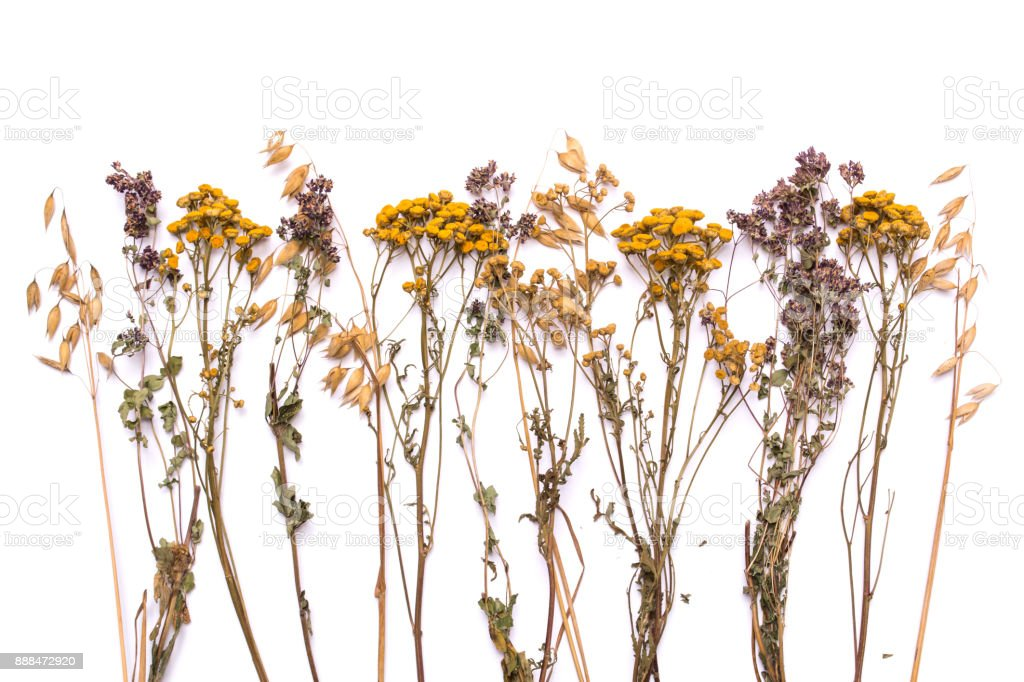 Flat lay dry branches of tansy and heather on a white background stock photo