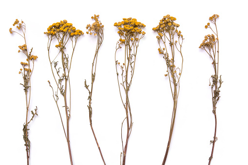 Flat lay dry branches of tansy grass on a white background. Tanacetum flower view from above. Medical herb.