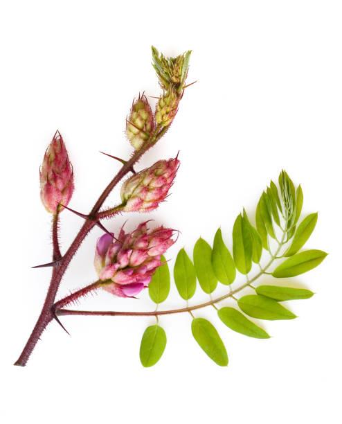 Flat lay fresh spring acacia flowers on white background stock photo