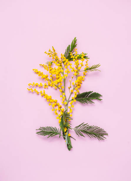 flat lay of mimosa flower on pink background. - immagini mimosa 8 marzo foto e immagini stock