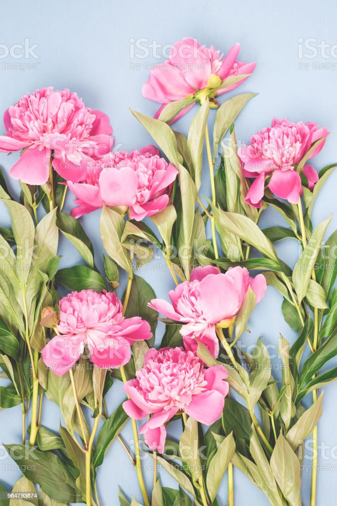 Flat lay with pink peonies. royalty-free stock photo