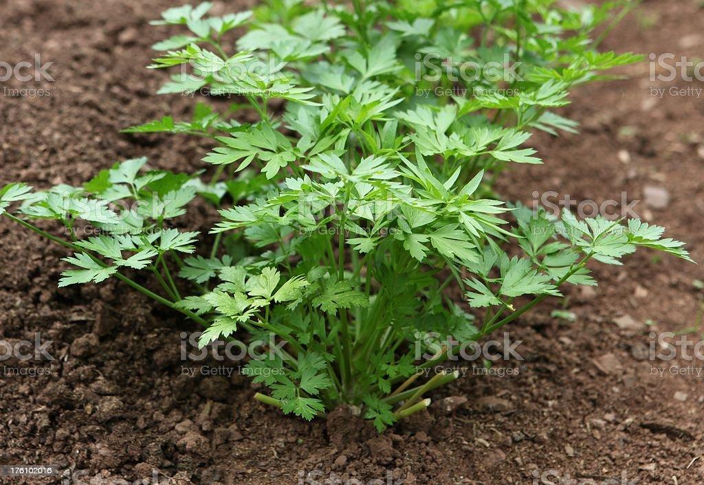 Flat leaf parsley growing royalty-free stock photo