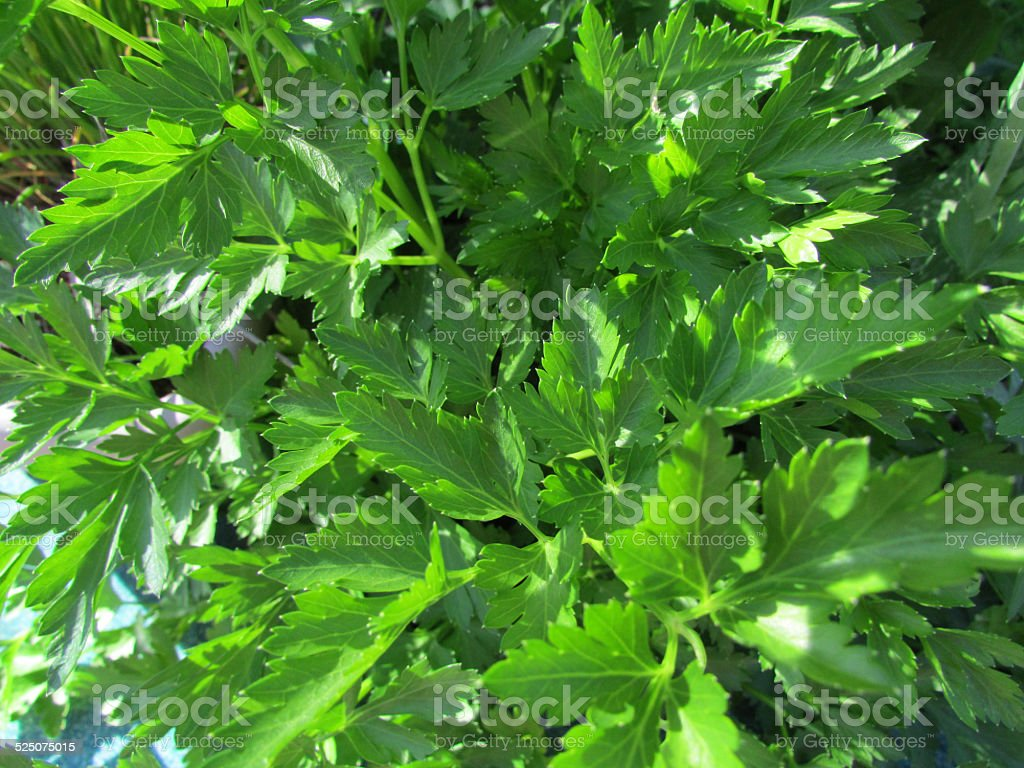 Flat Leaf Parsley Plant stock photo