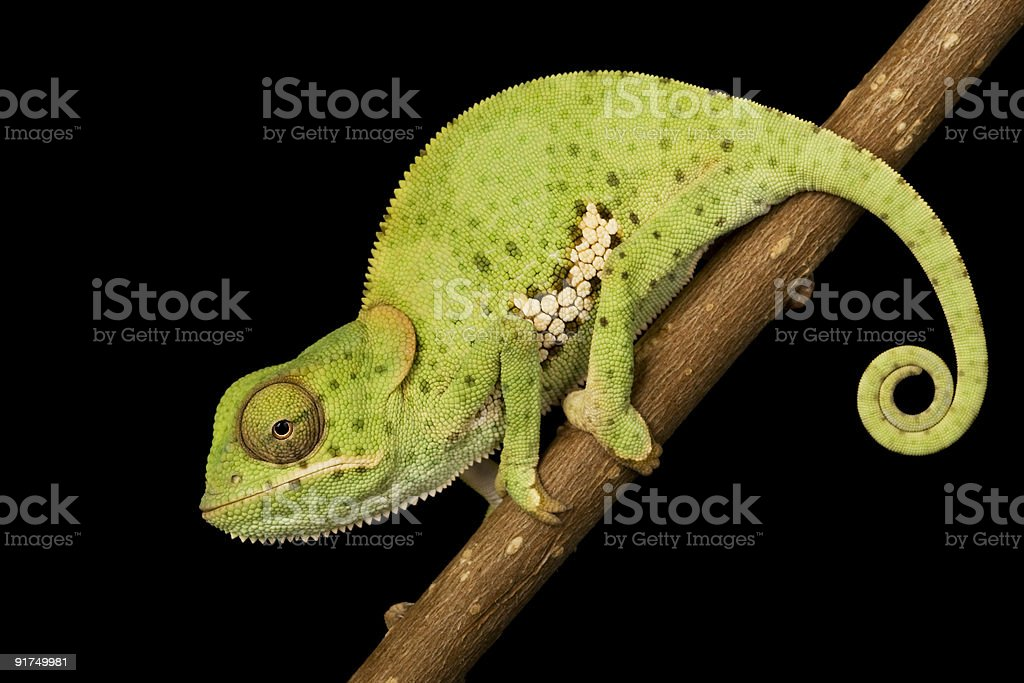 Flat Neck Chameleon royalty-free stock photo