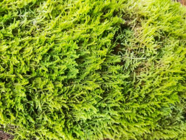 Flat neckera moss stock photo