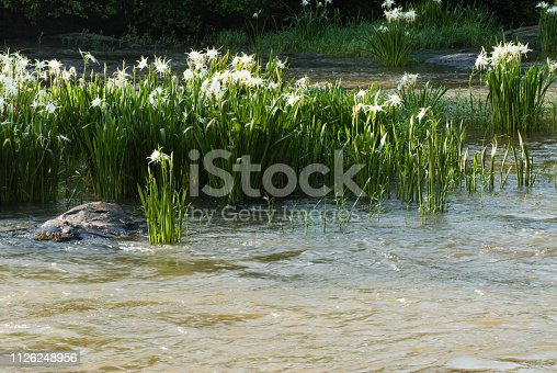 The rare and endangered Shoals Spider Lily growing at Flat Shoals Creek in Harris County Georgia USA. This wildflower grows only on islands among rocky shoals and blooms in May or June.