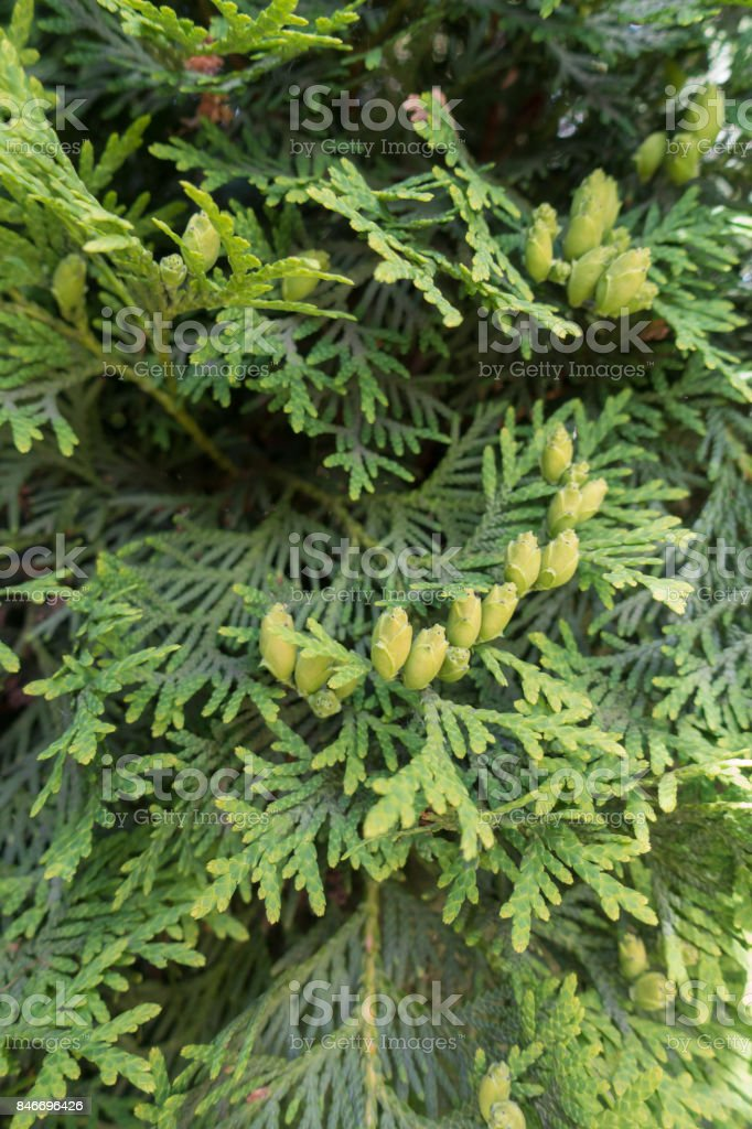 Flat sprays with scale-like leaves of Thuja occidentalis stock photo