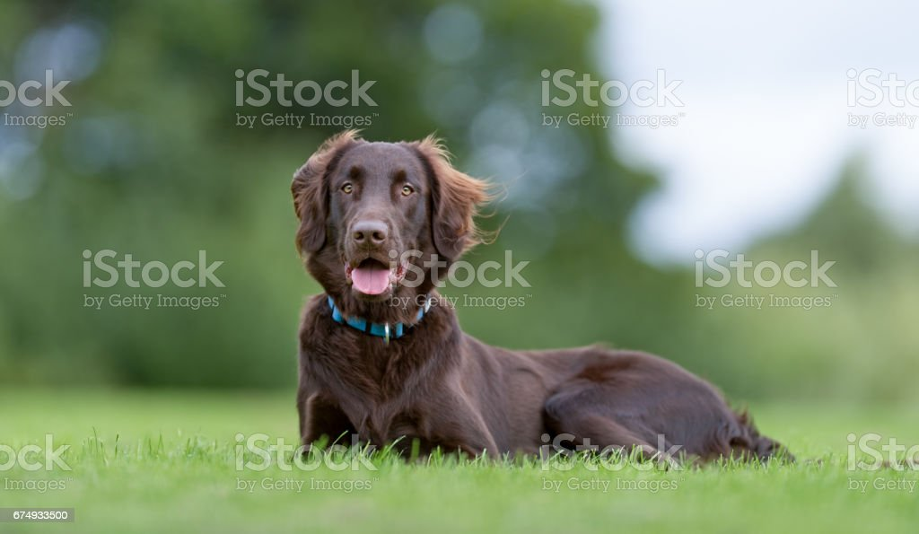 Flatcoated retriever dog stock photo