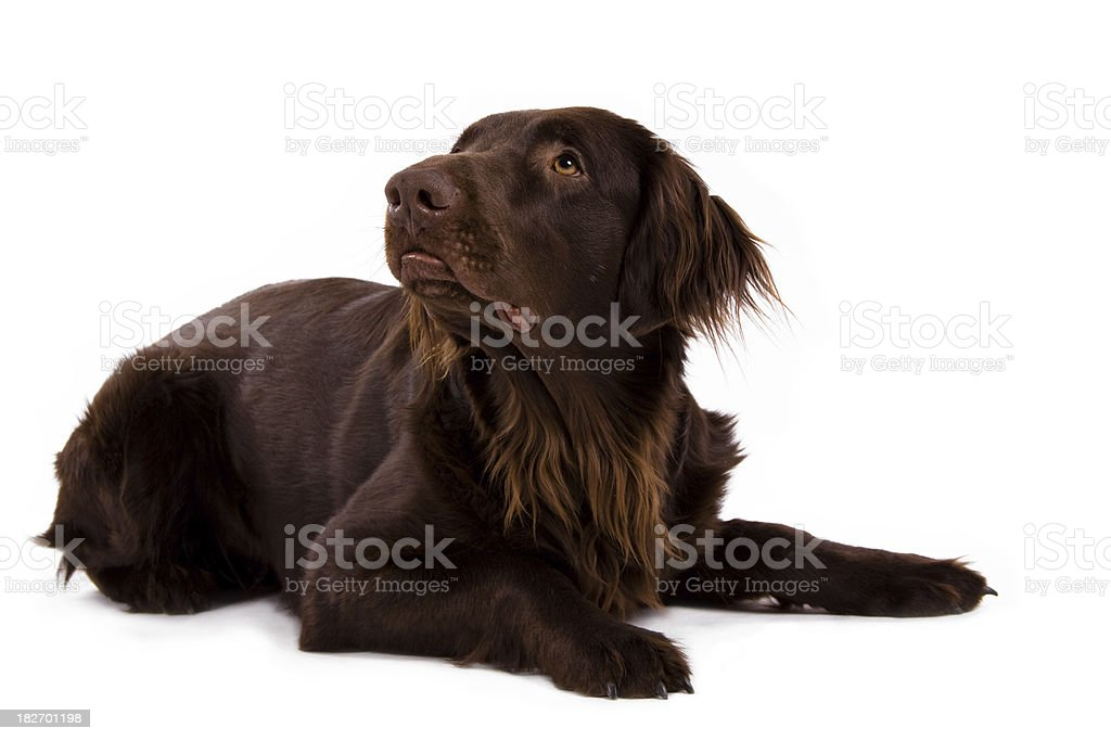 flatcoated retriever stock photo