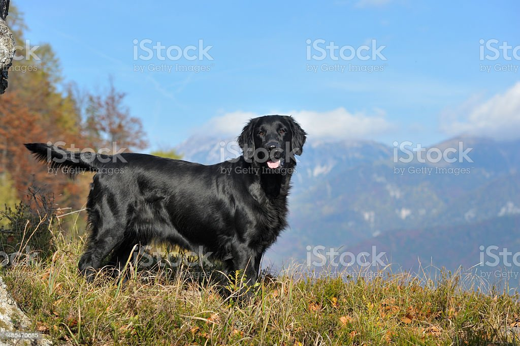 Flat-coated retriever stock photo