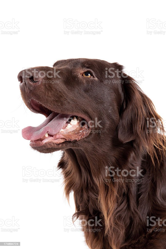 flatcoated retriever portrait stock photo