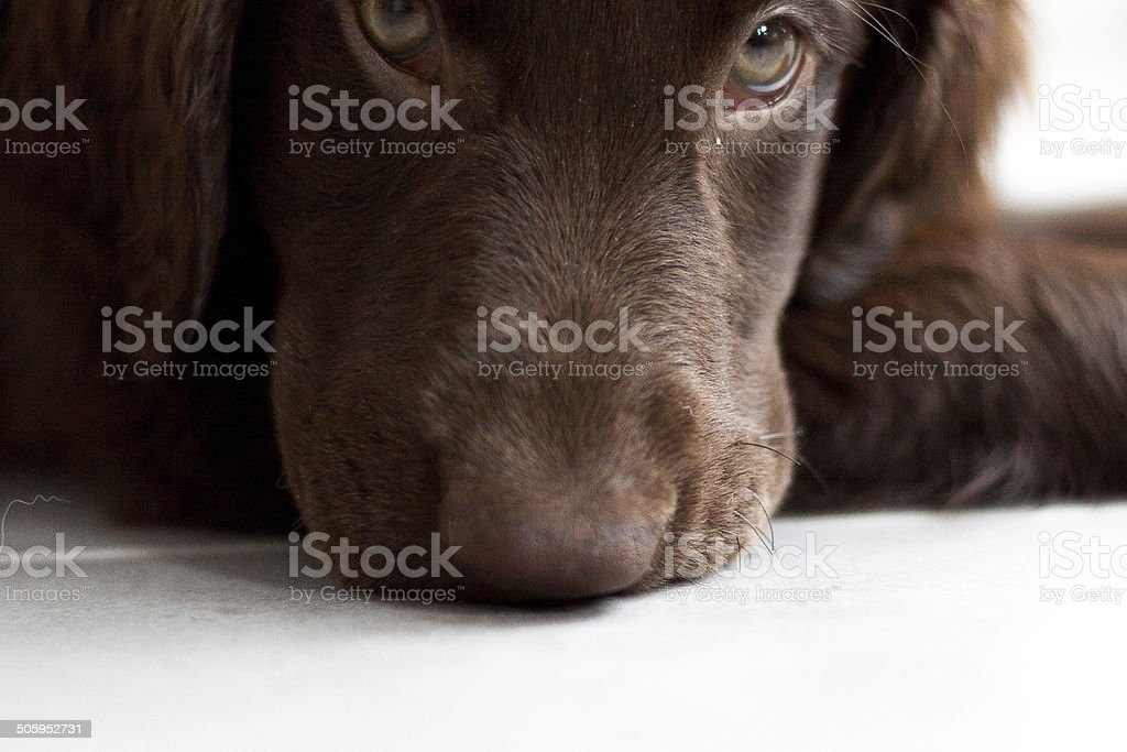 Flat-Coated Retriever Puppy stock photo