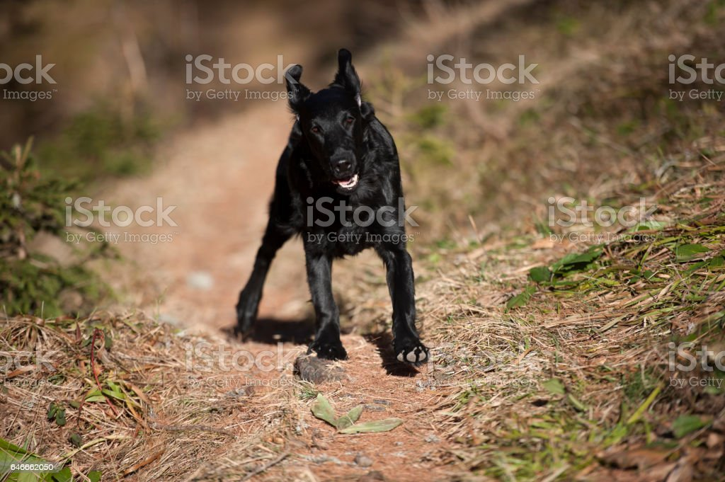 Flat-coated retriever puppy running stock photo