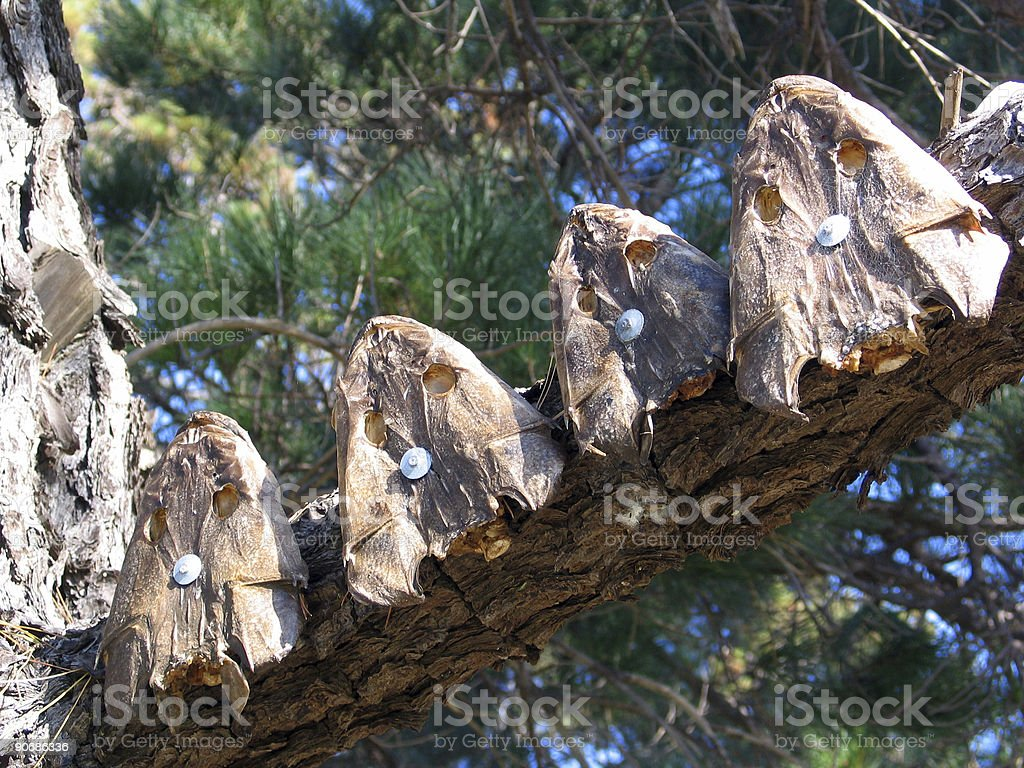 flathead heads nailed to a tree stock photo