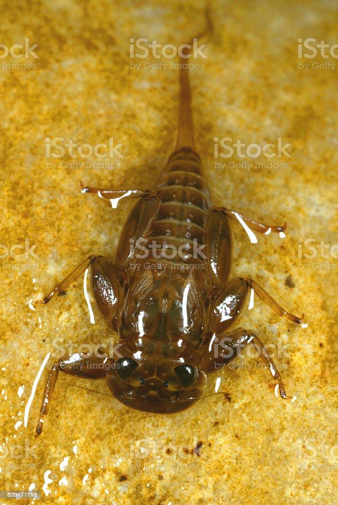 Flat-headed Mayfly Larvae stock photo