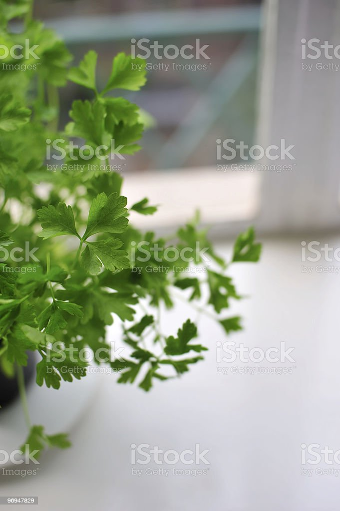 Flat-leaf parsley in a window royalty-free stock photo