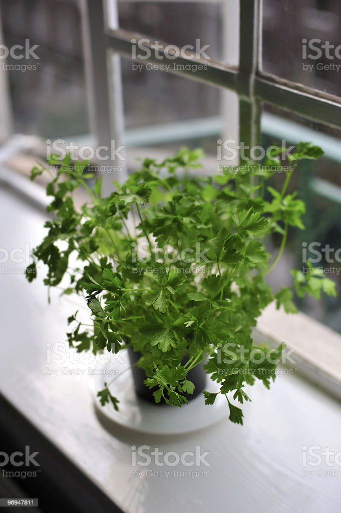 Flat-leaf parsley in the window royalty-free stock photo