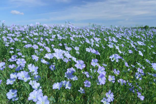 Flachs-Feld blühenden, Flachs landwirtschaftlichen Anbau. – Foto