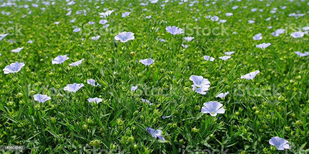 Flax Field royalty-free stock photo