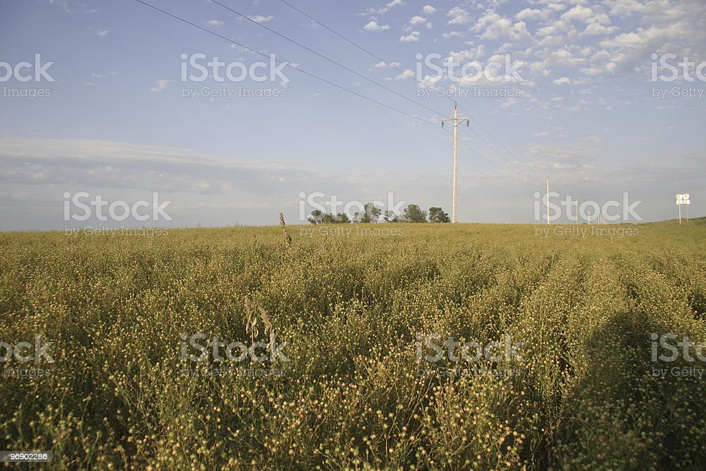 Flax Field with pods royalty-free stock photo