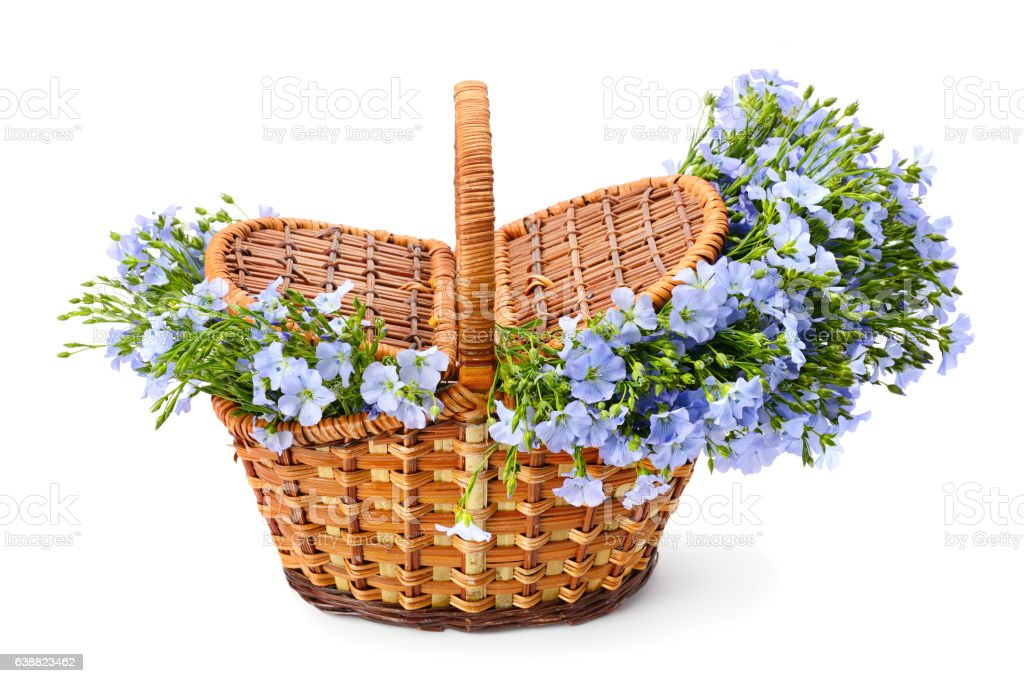 Flax flowers in a wicker basket on white background stock photo