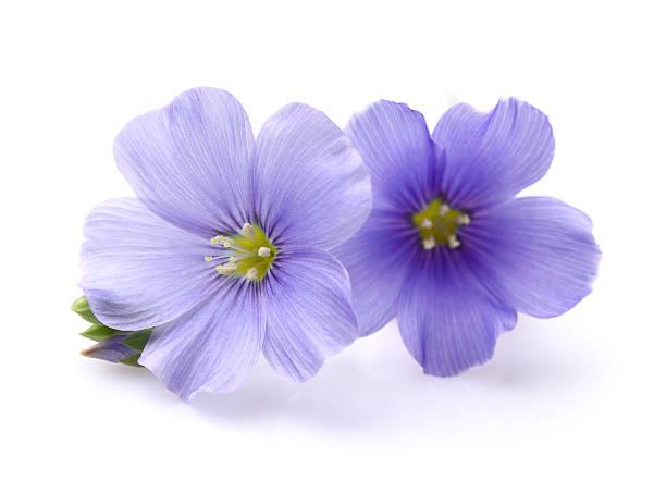 Flax flowers picture id178613287?b=1&k=6&m=178613287&s=612x612&w=0&h=23gnxi5w4t0j6mcxg71zsgppitr0llmlsiwzzeivjz0=