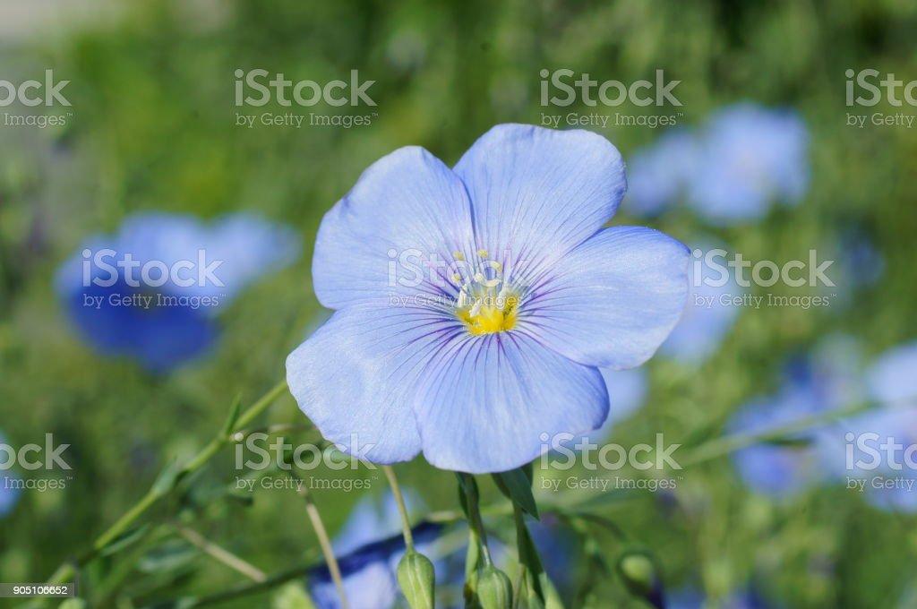 Flax flowers stock photo