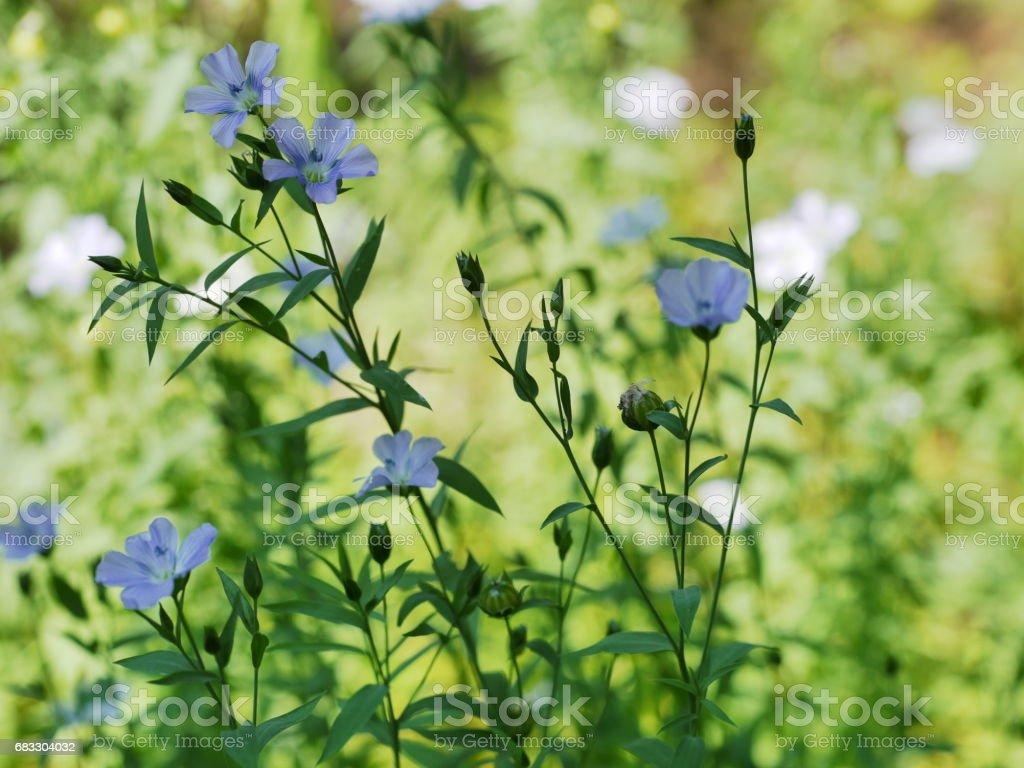 flax foto stock royalty-free