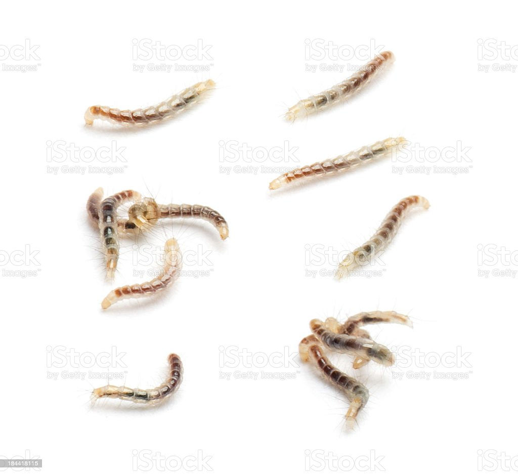 Flea larvae view from up high, isolated on white stock photo