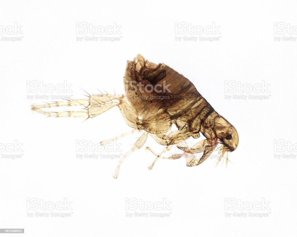 Flea Male WM stock photo