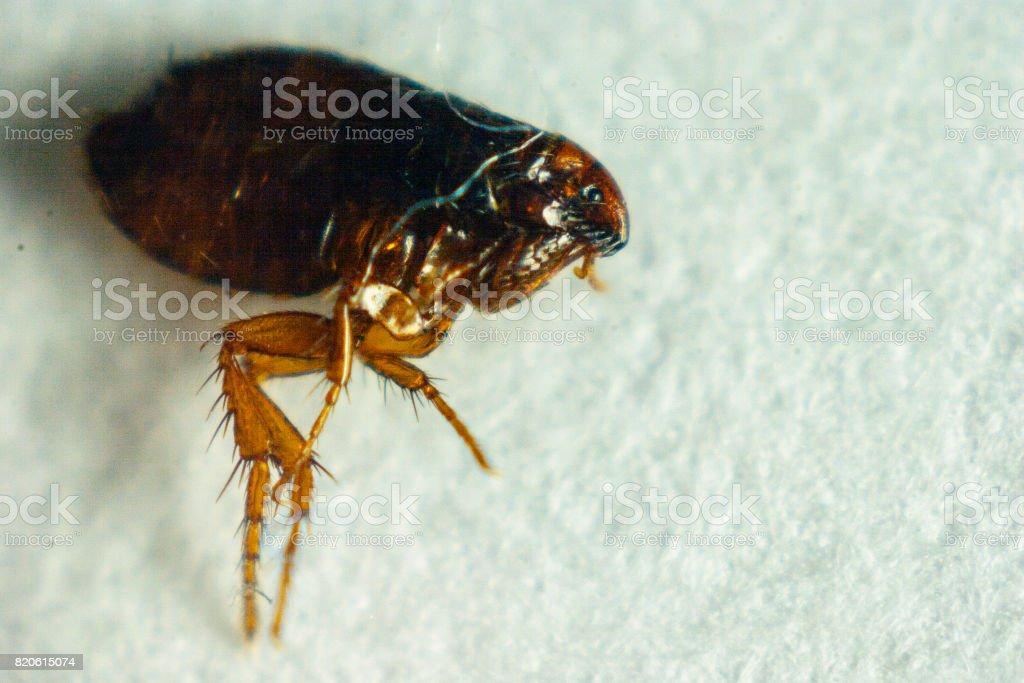 Flea or Human Flea - Pulex irritans isolated on a white background stock photo