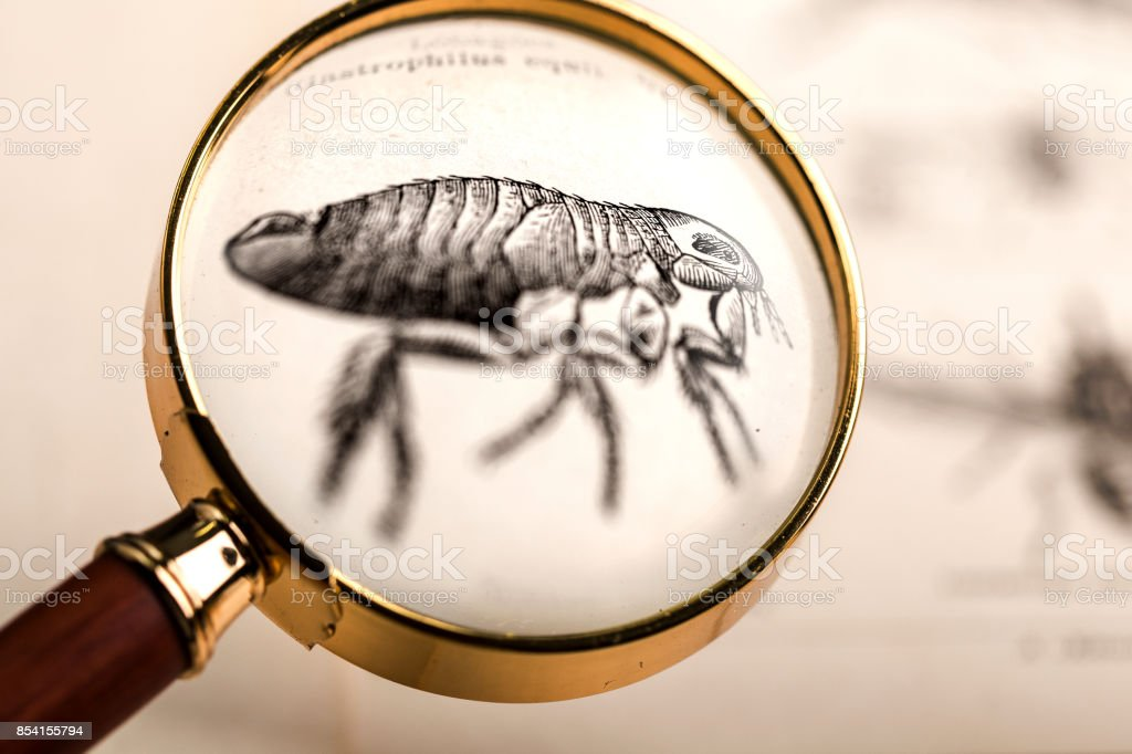 Flea under magnifying glass stock photo