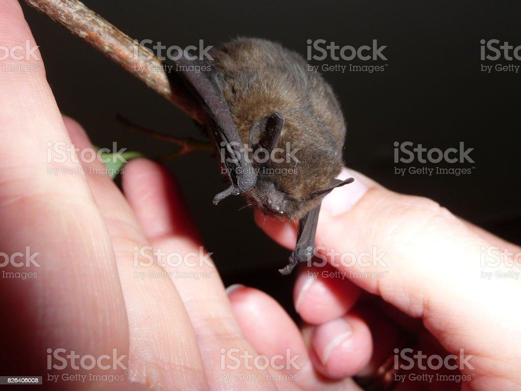 Fledermaus - Pipistrella stock photo